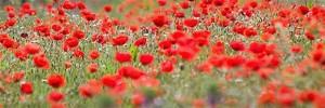 poppy-banner-image