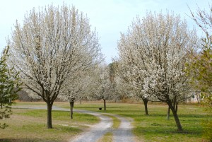photo of bradford pear trees